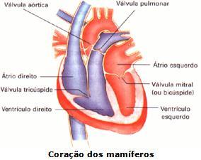 Coração Dos Mamíferos Sistema Circulatório Colégio Web