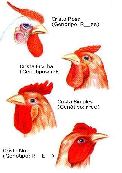 A crista das galinhas é um exemplo de genes complementares, ou Herança Qualitativa.