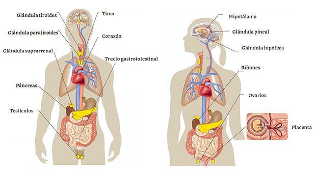 Exocrinas y endocrinas