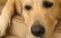 Câncer Mamário em Animais Domésticos