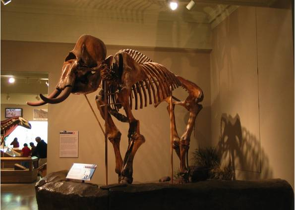 fóssil mamute