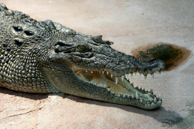 Crocodilo Agua Salgada