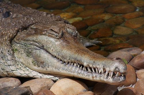 Jacaré Crocodilo