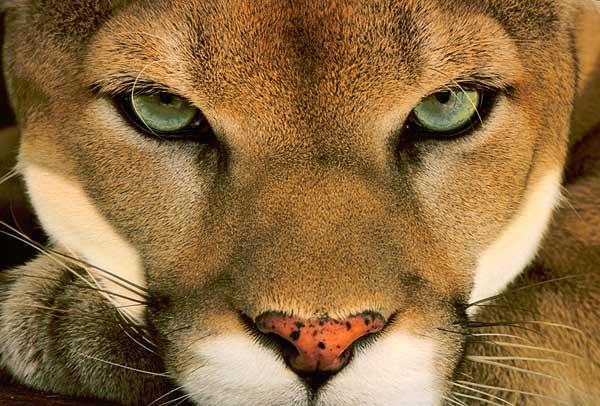 Puma Leão da Montanha