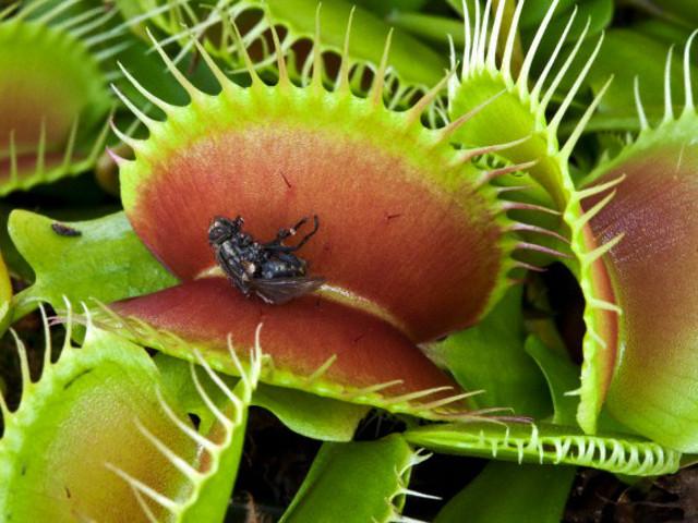 Como agem as plantas carn voras curiosidades col gio web for Como se planta la lavanda