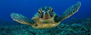 Um olhar sobre a tartaruga-marinha no século XXI