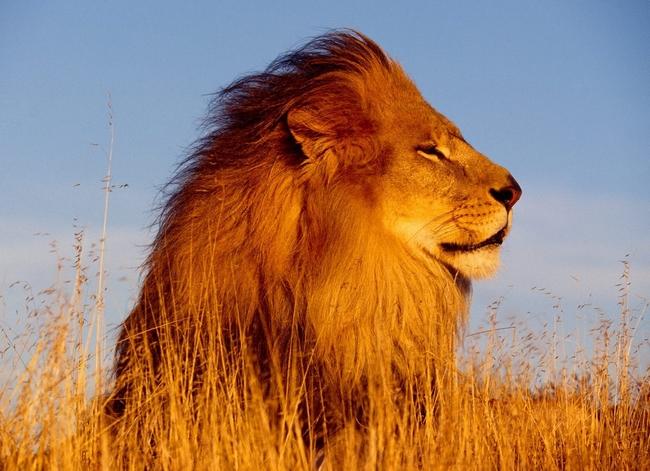 Leão Ferozes