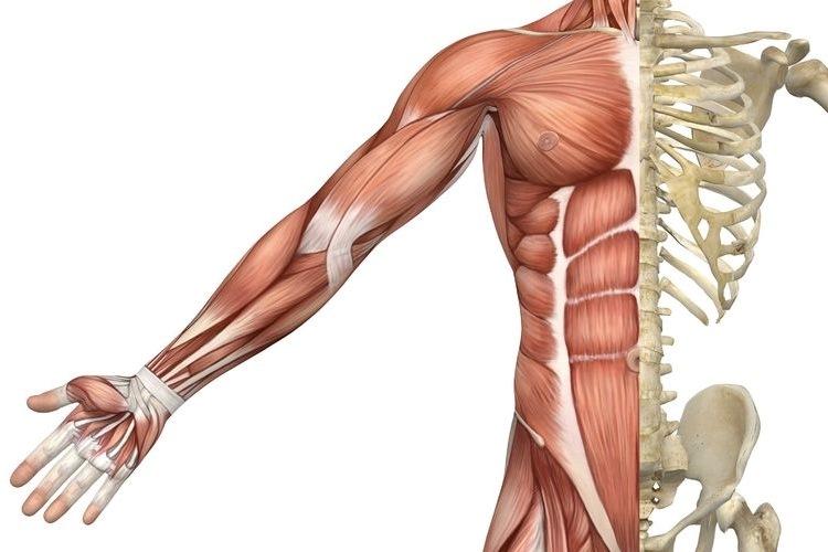 Por que músculos crescem