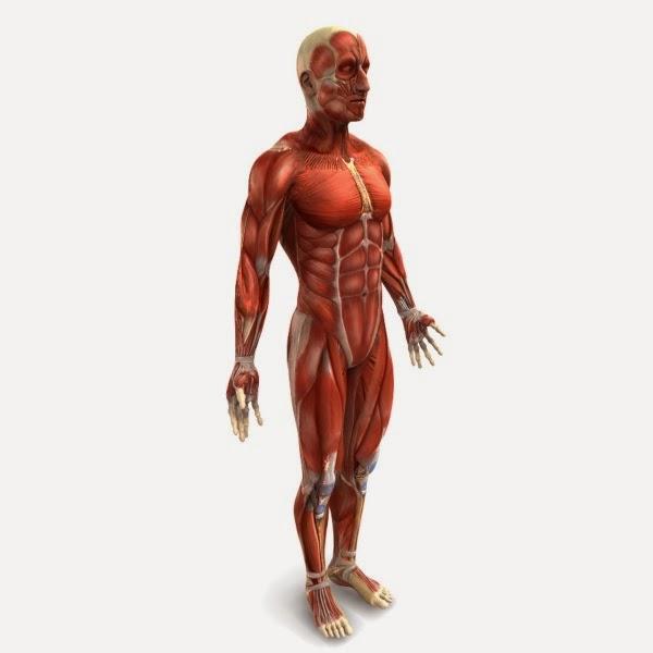 sistemamuscular humano