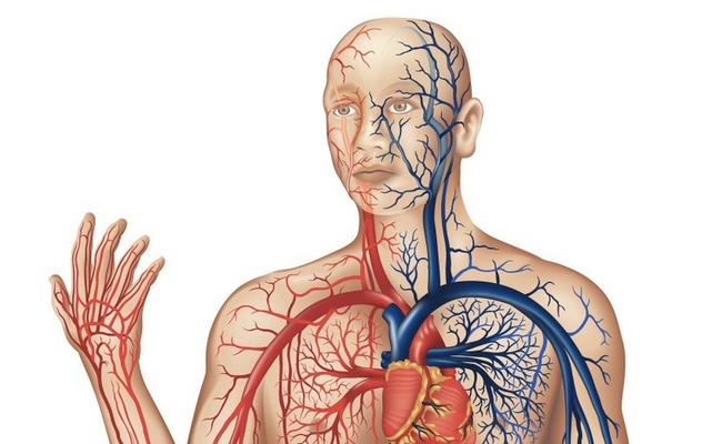 veias-arterias