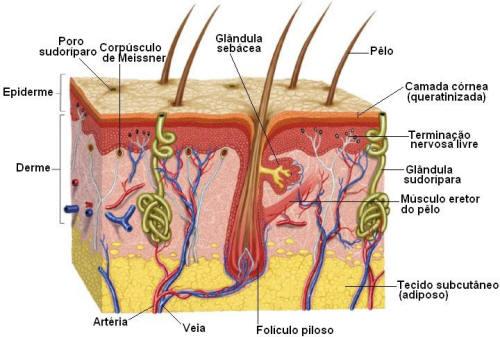 função dos capilares do tecido conjuntivo